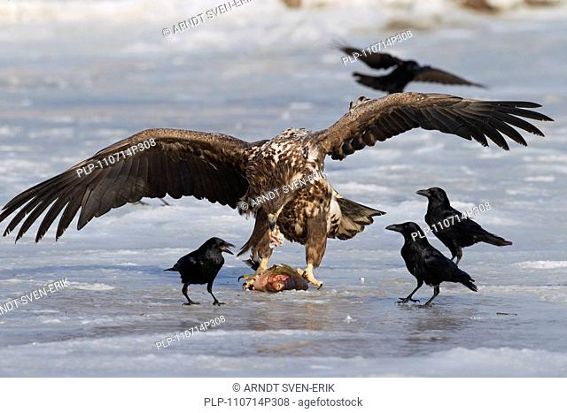 White-tailed Eagle / Sea Eagle / Erne Haliaeetus albicilla eating fish and being harassed by Carrion crows Corvus corone on frozen lake in winter, Germany