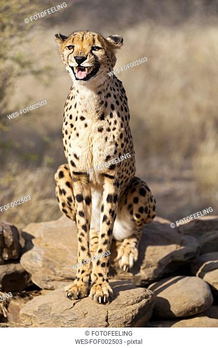Africa, Namibia, Cheetah