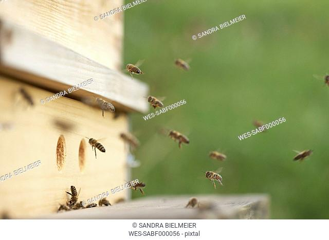 Bees approaching beehive