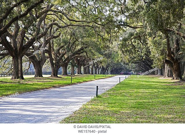 A stunning, country lane lined with ancient live oak trees draped in spanish moss. Near Charleton South Carolina, USA