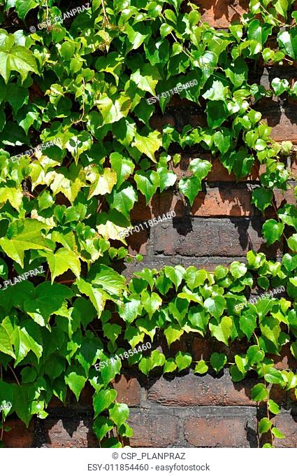 Ivy leaves on brick wall