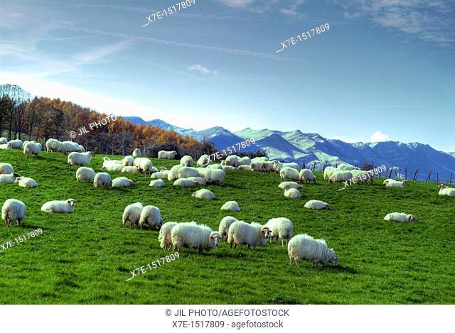 flock of sheep in the meadow  Aldatz  Larraun Valley  Aralar Range  Basque Country  Navarre  Spain