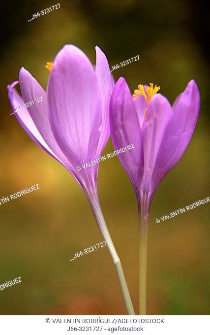 Wild saffron flowers (Crocus nudiflorus)in the Sierra Cebollera. La Rioja