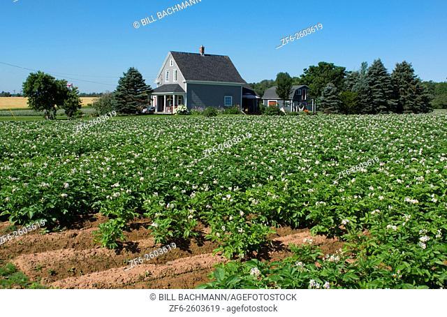 Canada Prince Edward Island, P. E. I. Charlottetown farming with famous PEI potatoes, farm with flowers and farm housae