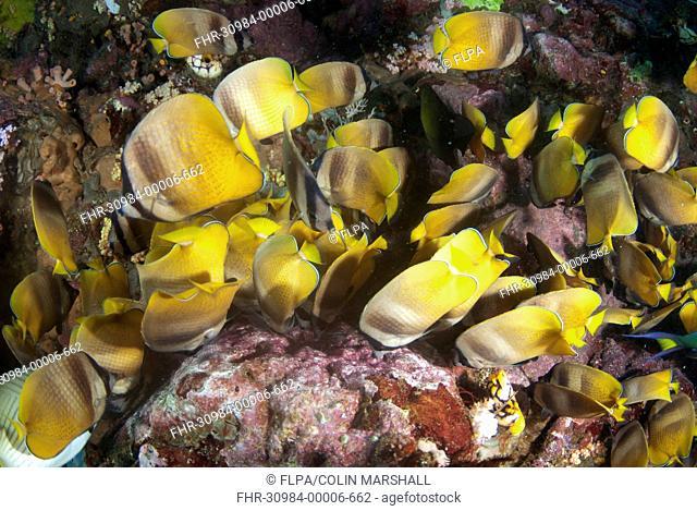 Klein's Butterflyfish (Chaetodon kleinii) adults, shoal feeding on Indo-Pacific Sergeant Major (Abudefduf vaigiensis) eggs, Lembeh Straits, Sulawesi