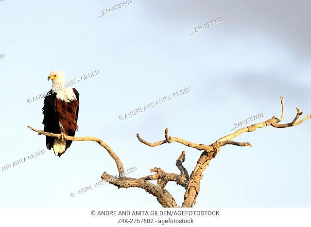 African Fish Eagle (haliaeetus vocifer) sitting on a tree branch, Kruger National Park, South Africa