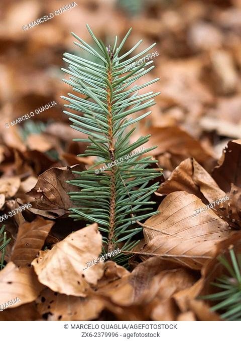 Fir sprout amongst beech leaves. Montseny Natural Park. Barcelona province, Catalonia, Spain