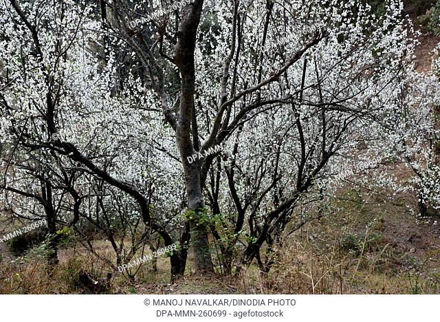 Plum trees Kasauli, Himachal Pradesh, India, Asia