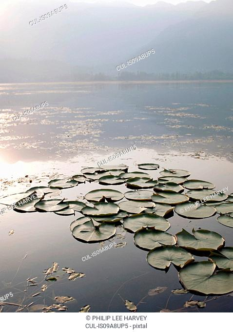 Lilly pads on Lake Dal in Kashmir, India