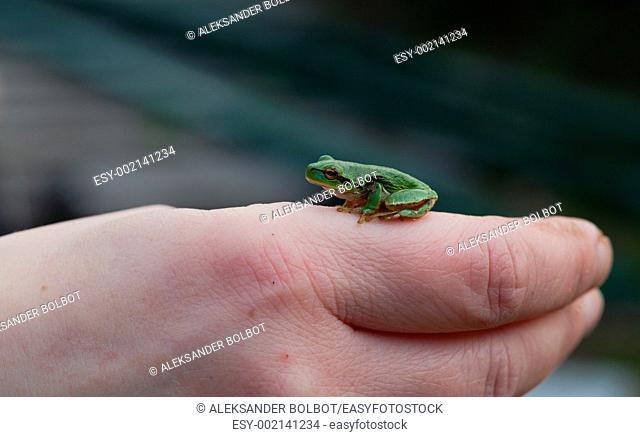 Tree frog Hyla arborea sitting