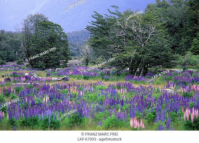 Lupines at Fjordland National Park, New Zealand