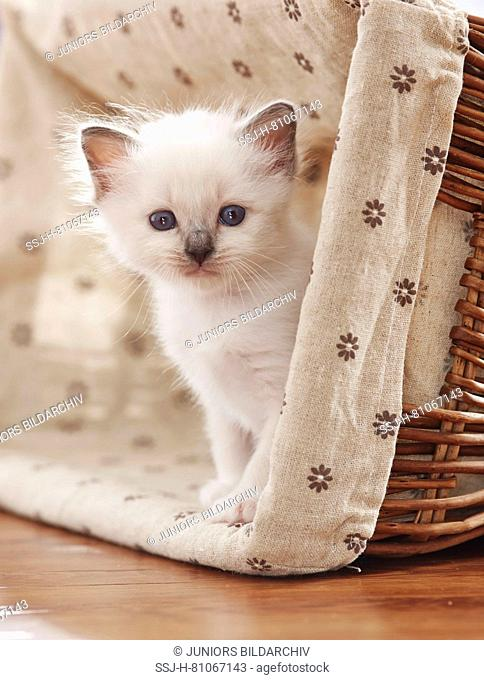Sacred cat of Burma. Kitten (4 weeks old) siiting in a basket. Germany