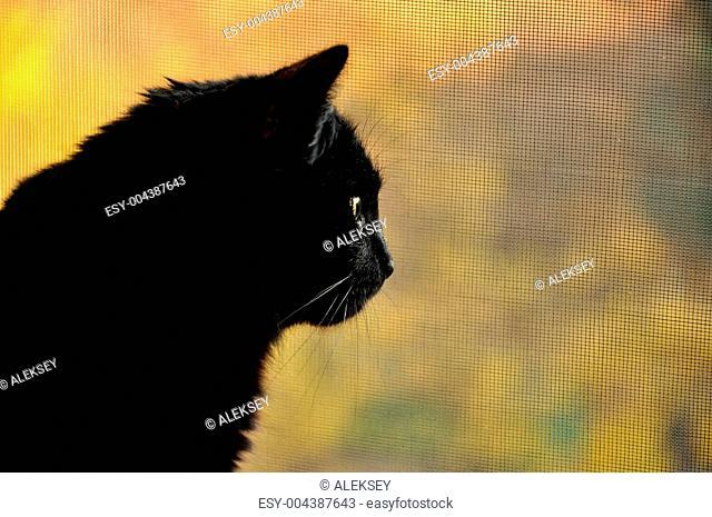 Black cat in profile