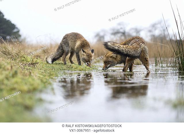 Red Foxes ( Vulpes vulpes ), two adults, on a rainy winter day, searching for food on a flooded embankment of a swampy pond, wildlife, Europe