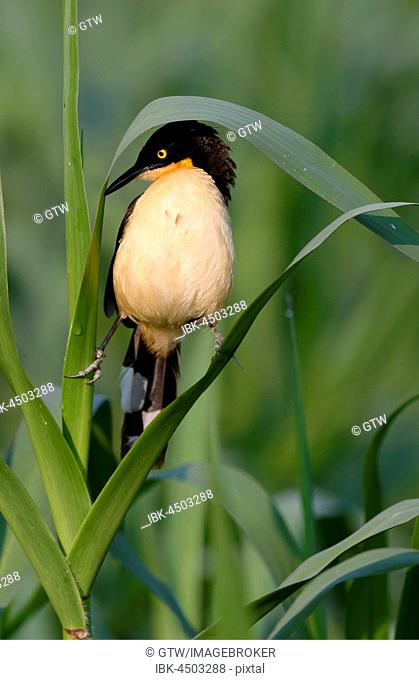 Black-capped Donacobius (Donacobius atricapilla) on reed, Pantanal, Mato Grosso State, Brazil