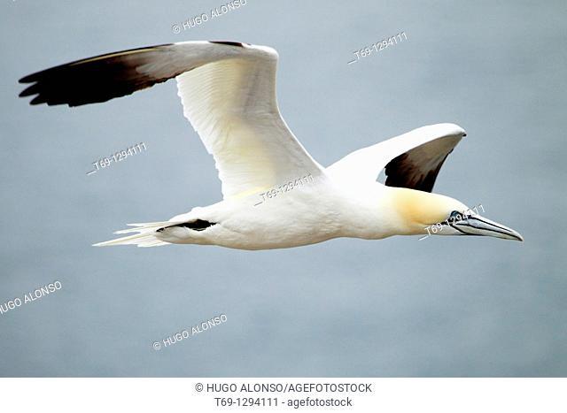 Northern Gannet (Sula bassana or Morus bassanus) in flight, Bass Rock, Scotland