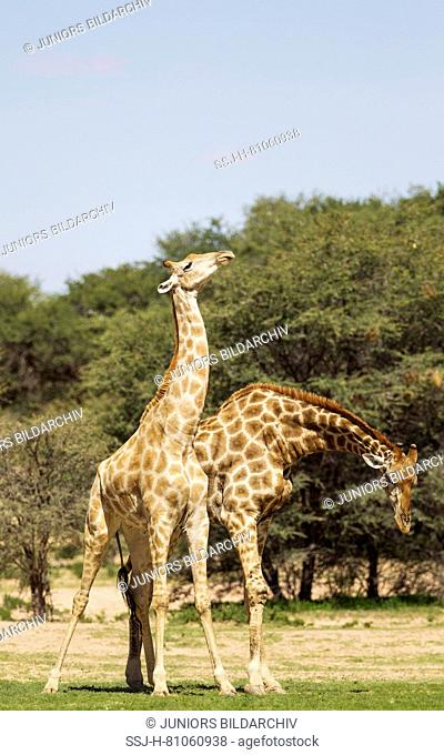 Southern Giraffe (Giraffa giraffa). Fighting males