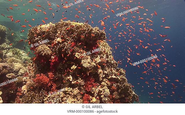 Anthias fish Pseudanthias squamipinnis. At reef drop off. Red Sea