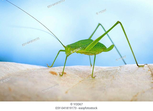 Image of family Tettigoniidae(Mirollia hexapinna) are commonly called katydids or bush-crickets on dry leaves brown. Insect. Animal