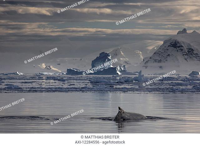 Humpback whale (Megaptera novaengliae) in Gerlache Strait, Antarctic Peninsula; Antarctica