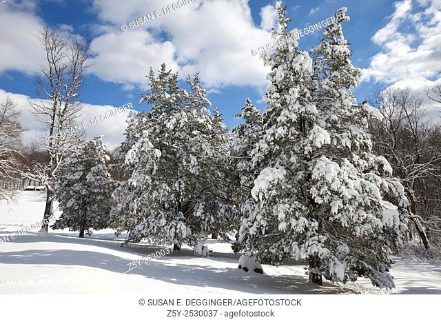 Snow covered pine trees, Jocky Hollow, Morristown National Historical Park, New Jersey
