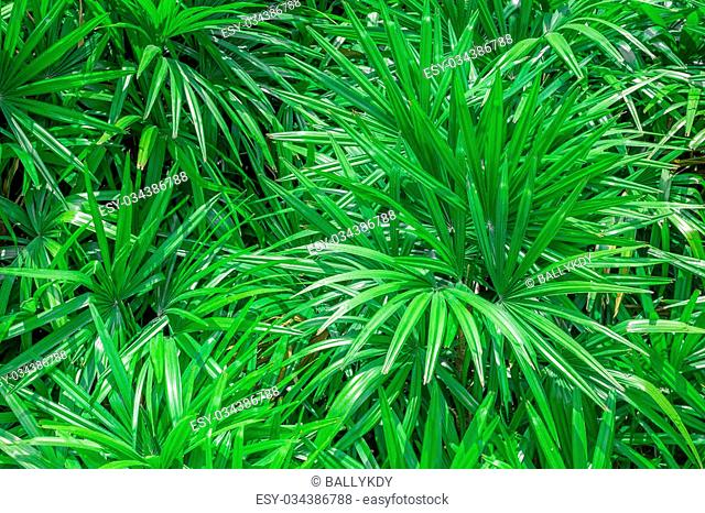 papyrus green leaf, abstract background