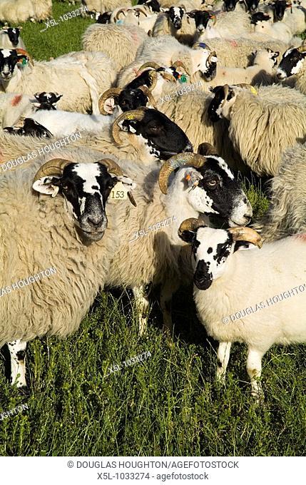 SHEEP ANIMAL Scottish Blackface sheep and lambs flock
