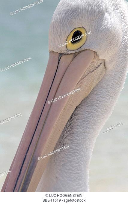 Head shot of Australian White Pelican (Pelecanus conspicillatus)