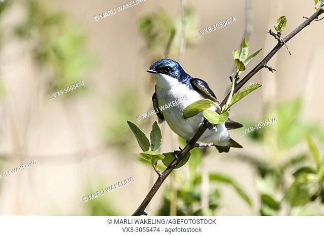 Tree swallow, Tachycineta bicolor, George C. Reifel Migratory Bird Sanctuary, Delta, British Columbia, Canada