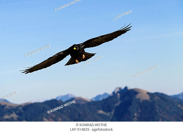 Alpine Choughs flying over mountains, Pyrrhocorax graculus, Alps, Upper Bavaria, Germany