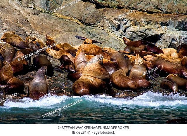 Colony of Steller Sea Lions (Eumetopias jubatus), Prince William Sound, Alaska, USA