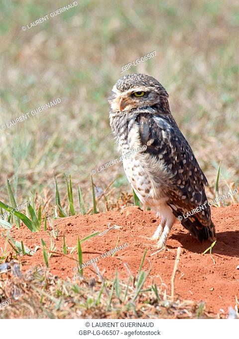 Owl, Athene cunicularia, Chevêche, chouette give terriers, Park City D. Sarah Kubitschek, city, Distrito Federal, Brasília, Brazil