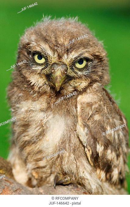 little owl - standing / Athene noctua