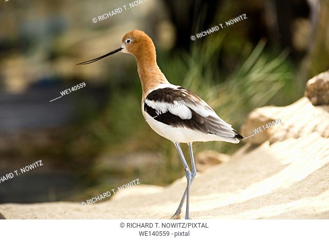 American Avocet bird searching for food on beach in California