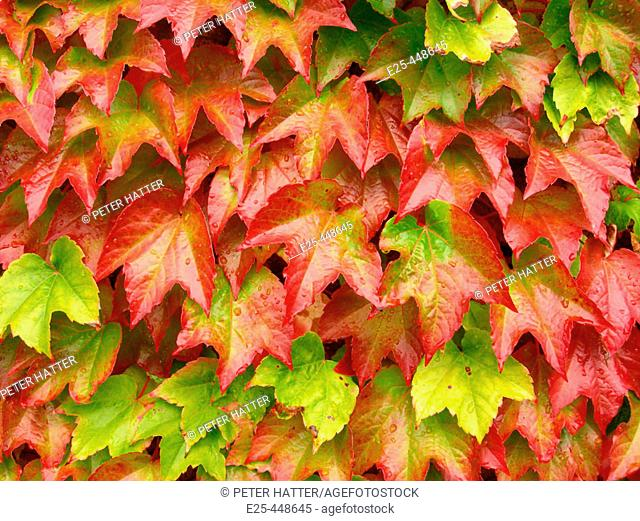 Green Leaves Turning Red In Autumn