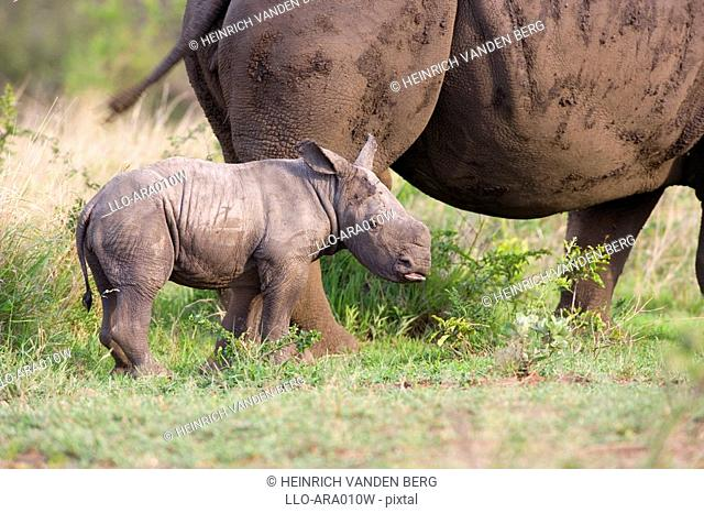 White Rhinoceros Ceratotherium sim Calf with its Mother  Hluhluwe Umfolozi Park, Kwa-Zulu Natal Province, South Africa