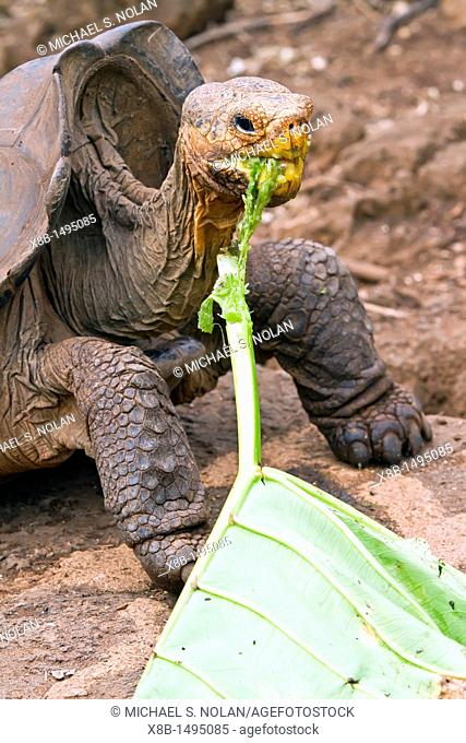 Captive Galapagos giant tortoise Geochelone elephantopus being fed at the Charles Darwin Research Station on Santa Cruz Island in the Galapagos Island...