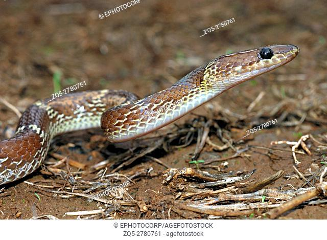 The common wolf snake (Lycodon aulicus) is a small, brown, nocturnal serpent. Non-venomous often enter human settlements in seach of its favourite prey geckos