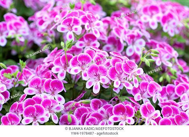 Pelargonium Angeleyes Viola 'Pacviola' Ageleyes Series
