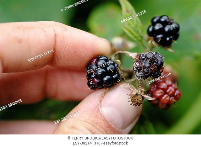 Man foraging for wild blackberries  Closeup photograph, UK