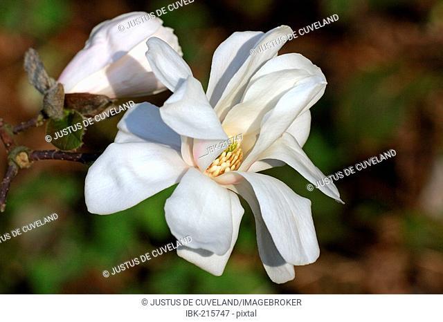 Magnolia (Magnolia x loebneri Merrill)
