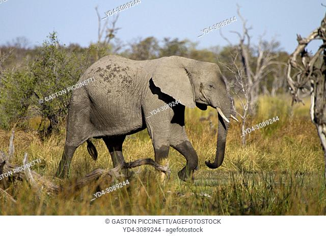 African Elephant (Loxodonta africana), Okavango Delta, Moremi Game Reserve, Botswana