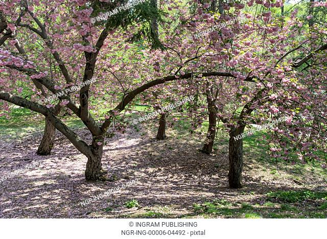 Cherry blossom tree in Central Park, Manhattan, New York City, New York State, USA