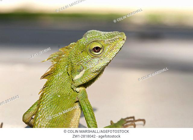 Green Crested Lizard (Bronchocela cristatella) on side of pool, Klungkung, Bali, Indonesia