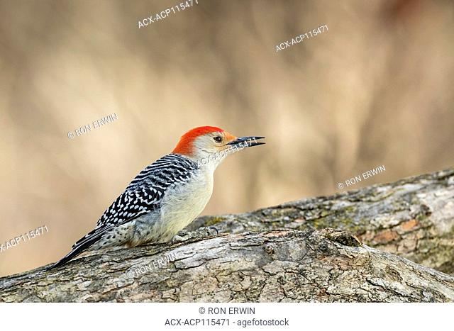 Male Red-bellied Woodpecker (Melanerpes carolinus), Lynde Shores Conservation Area, Whitby, Ontario, Canada