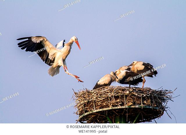 Germany, Saarland, Beeden, Hungry yooung white storks in the nest