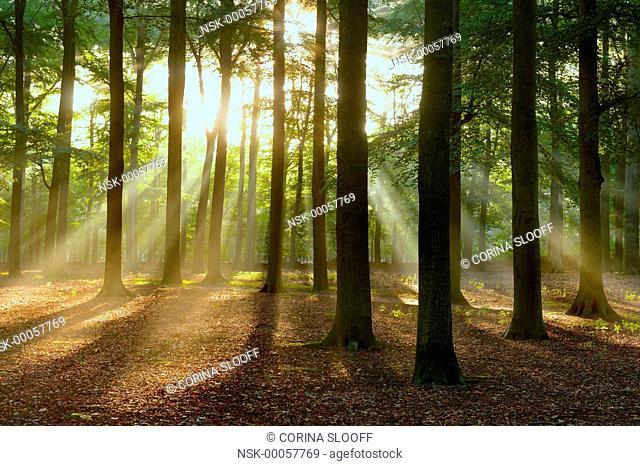 Early morning sun rays shining through an autumn forest, The Netherlands, Utrecht, De Bilt, Beerschoten