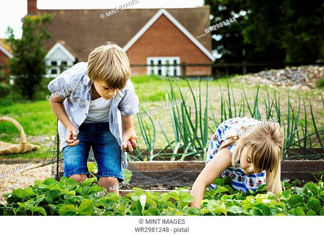 Boy and girl standing by a vegetable bed in a garden, picking vegetables