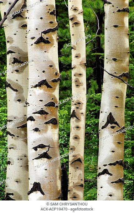 Wet aspen tree trunks Populous tremuloides near Nordegg, Alberta, Canada
