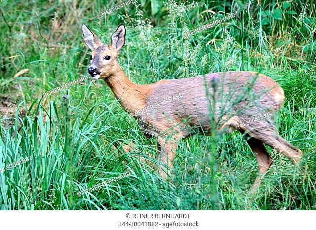 Capreolus capreolus, local animals, endemic animals, cloven-hoofed animals, roe deer, roe deer, roe deer in the fur change, animals, Trughirsche
